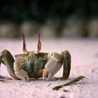 Постер, плакат: Flashed Crab