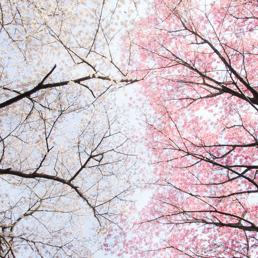 Photograph two-tone blossoms by Takashi Yamamoto on 500px