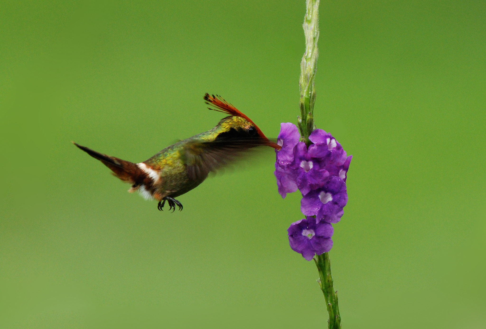 Photograph Rufous-Crested Coquette by Bill Lynch on 500px