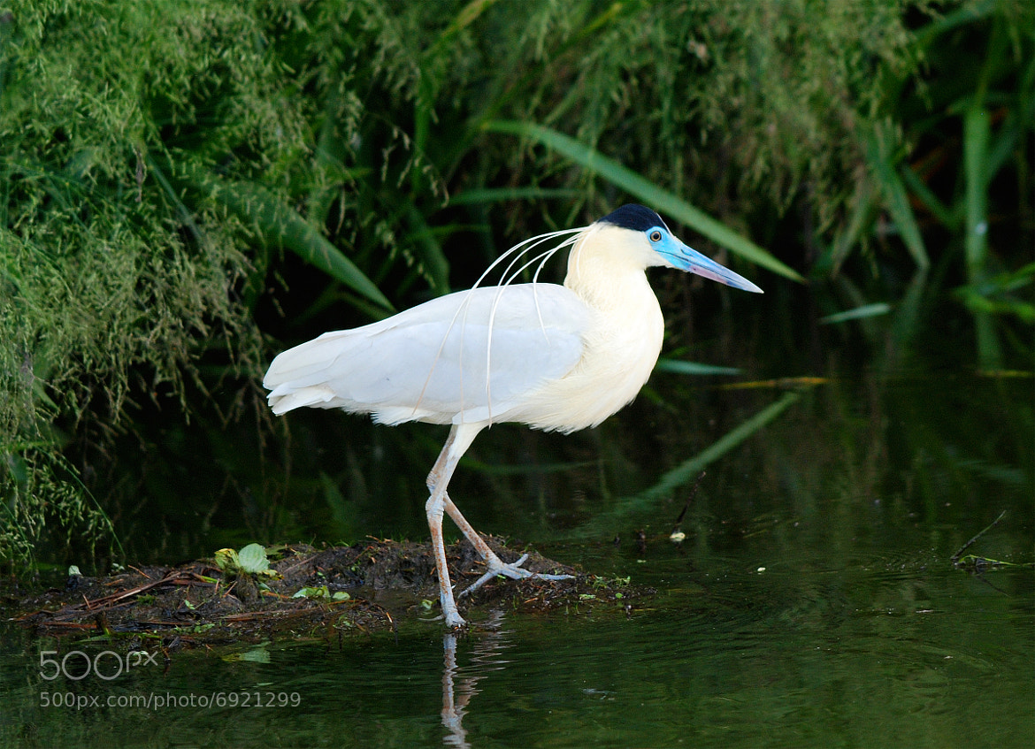 Photograph Capped Heron by Bill Lynch on 500px