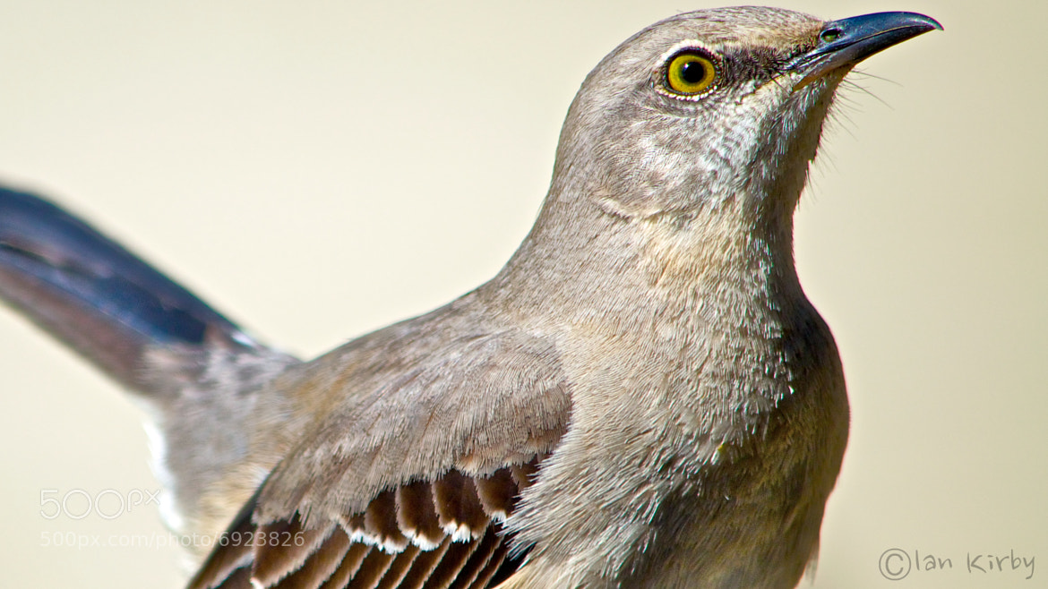 Photograph Profile of a thrasher by Ian Kirby on 500px