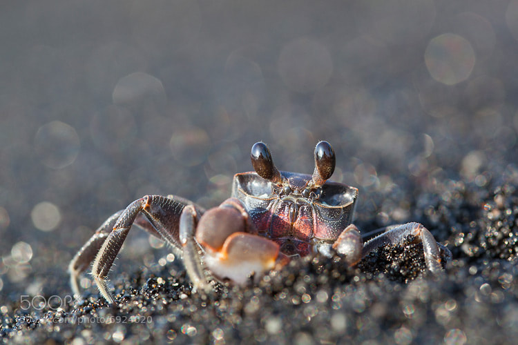 Photograph Ghost Crab by Nicolas Dory on 500px