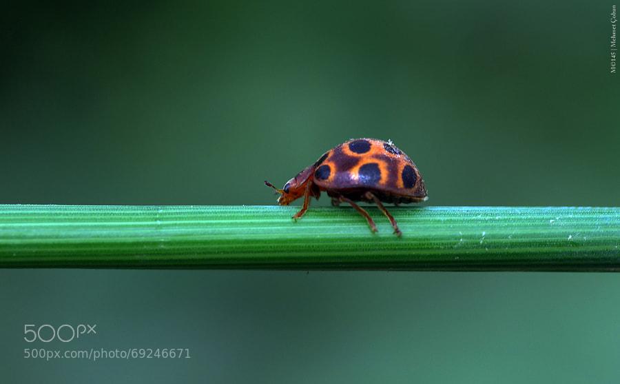 Photograph Ladybugs orange by Mehmet Çoban on 500px