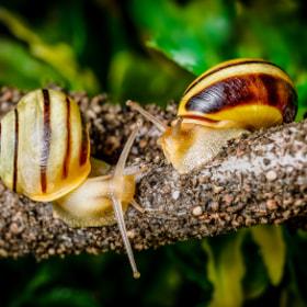 Gartenbänderschnecke (Cepaea hortensis) | Garden snail
