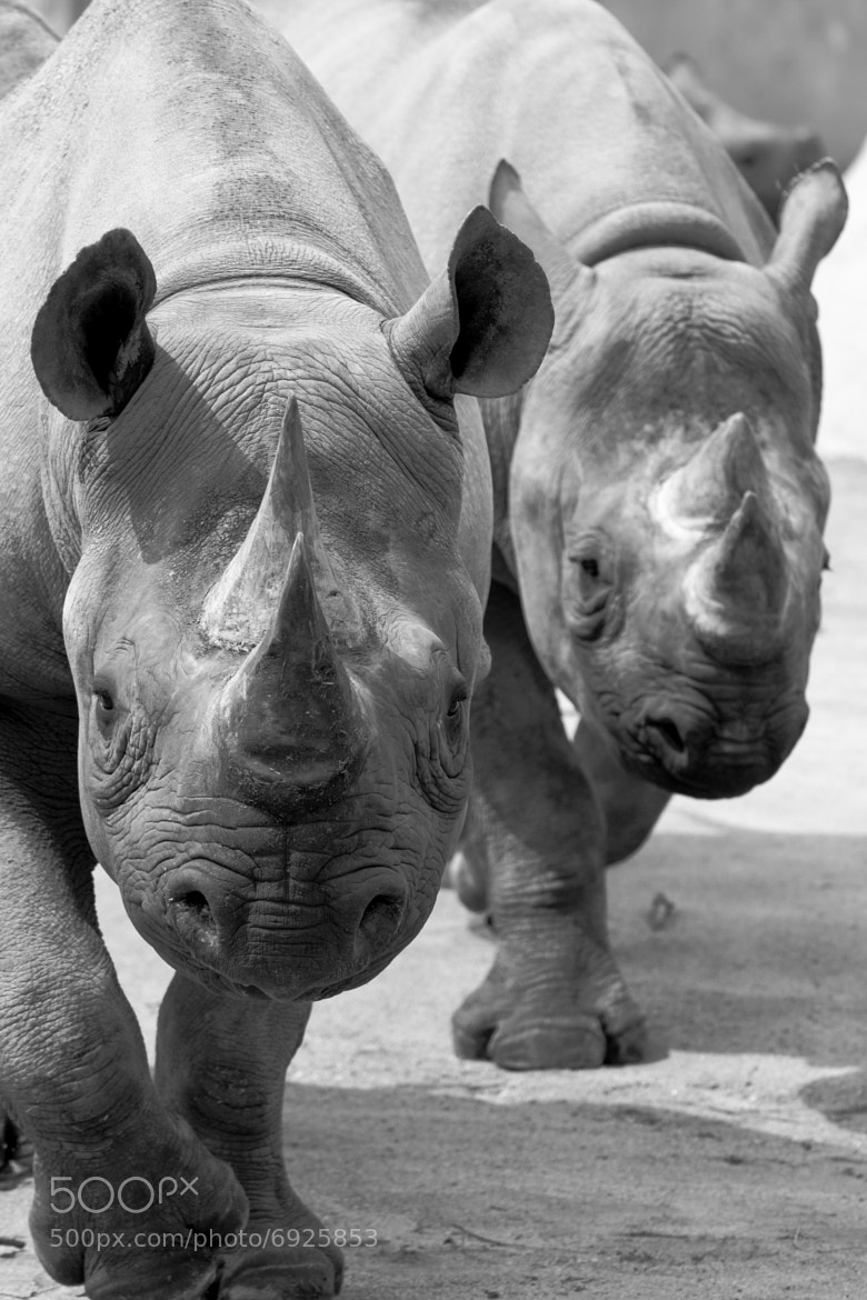 Photograph RHINOS by Ken Shimo on 500px
