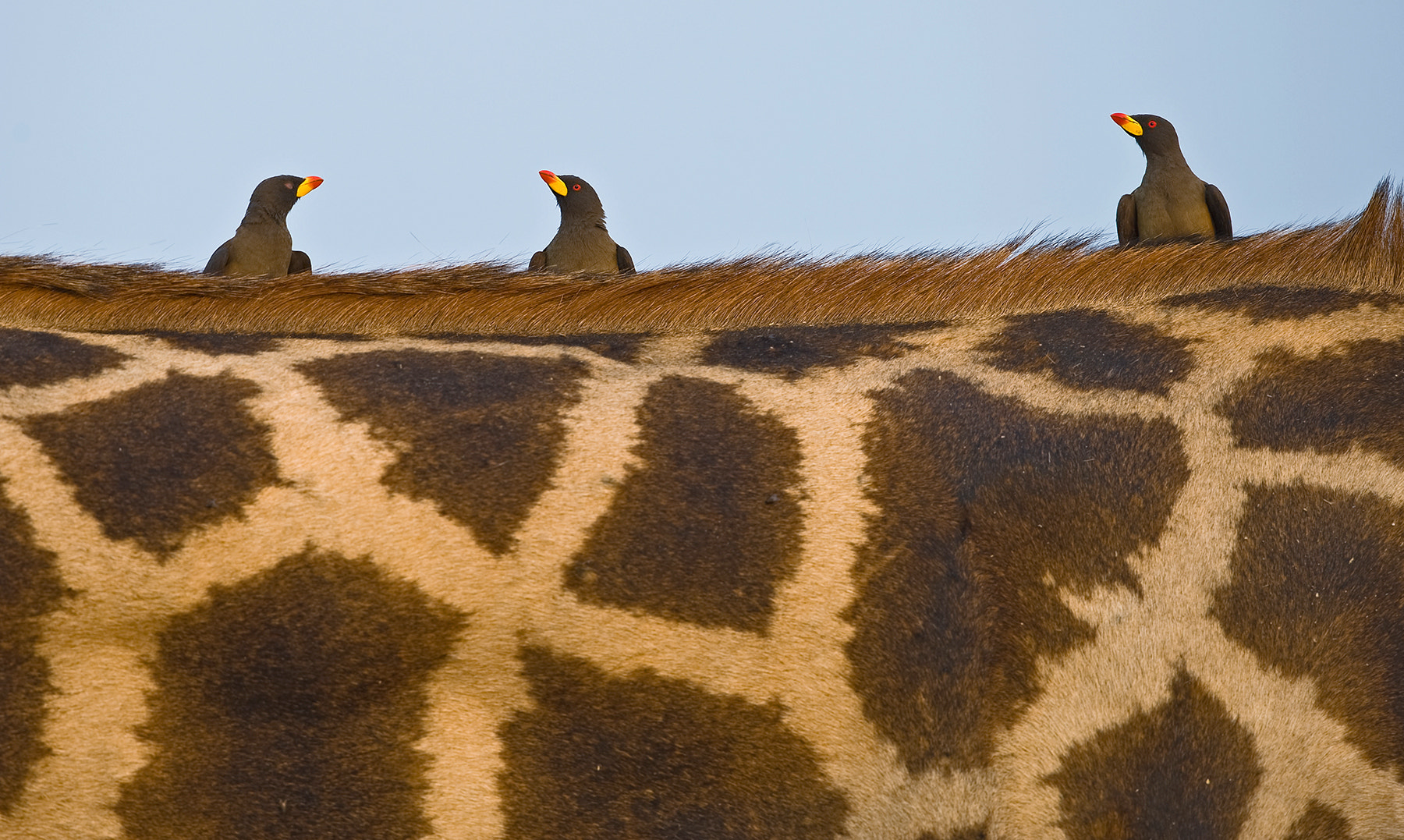 Photograph Oxpeckers @ the bar. by Marc MOL on 500px