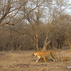 Постер, плакат: Once in a Lifetime moment Tigress with 3 small cubs