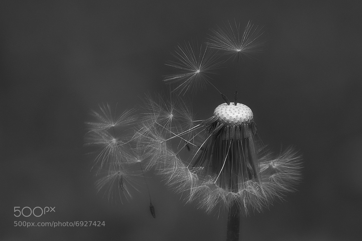 Photograph Dandelion spores by malmusa on 500px