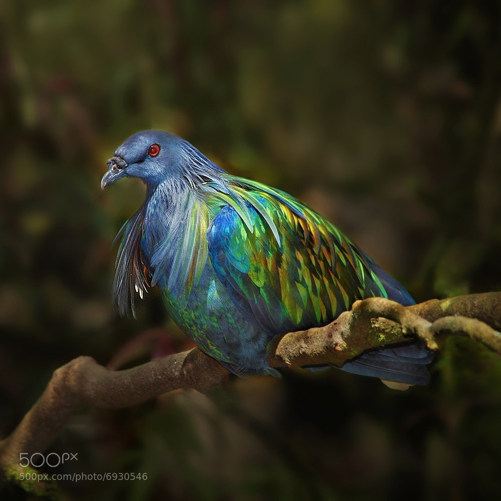 Photograph Nicobar Pigeon by Irawan Subingar on 500px