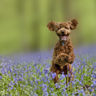 Постер, плакат: Poodle In The Bluebell Forest