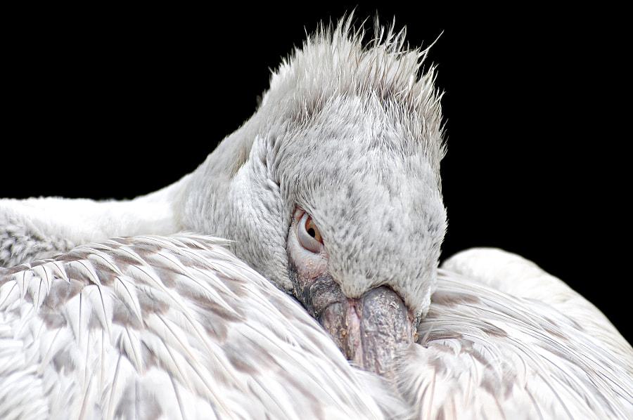 Pelican by Robert Broeke on 500px.com