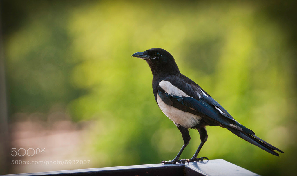 Photograph Thieving Magpie by Peste Razor on 500px