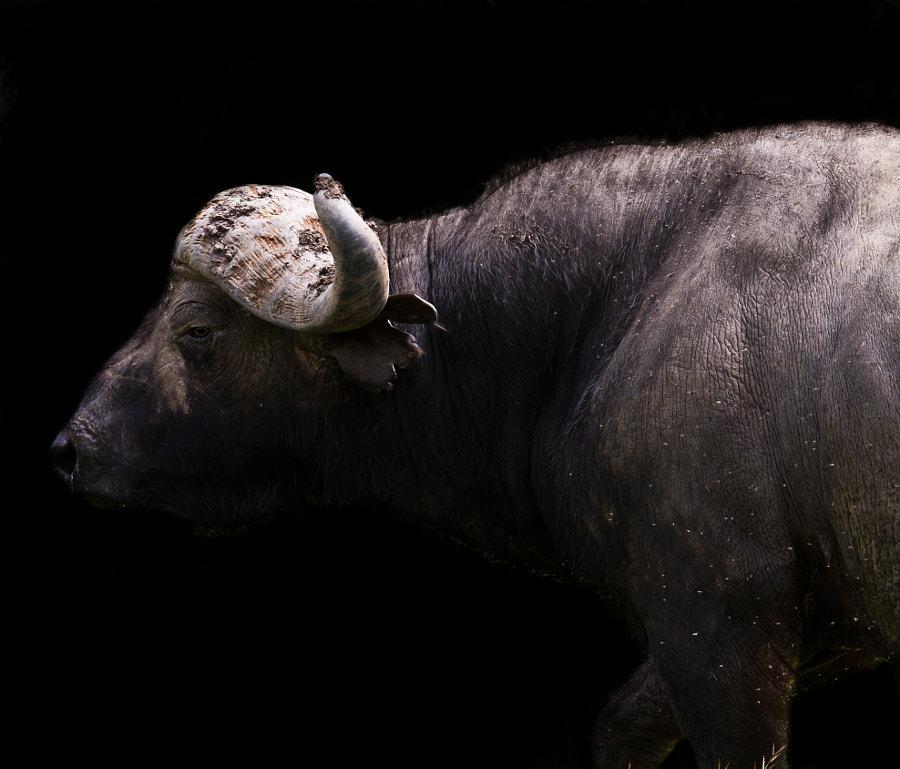 Master buffalo