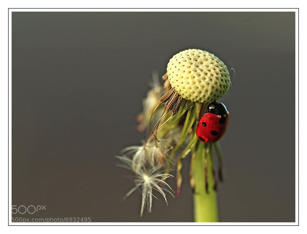 Photograph step sister of Sam's ladybug  by Yohanna Del'heaumeau on 500px