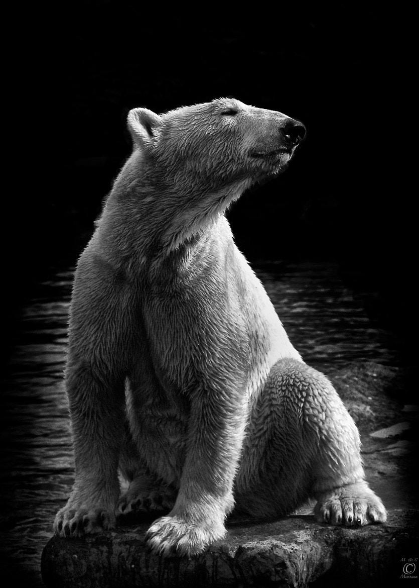 Photograph Polar Bear by Christian Meermann on 500px