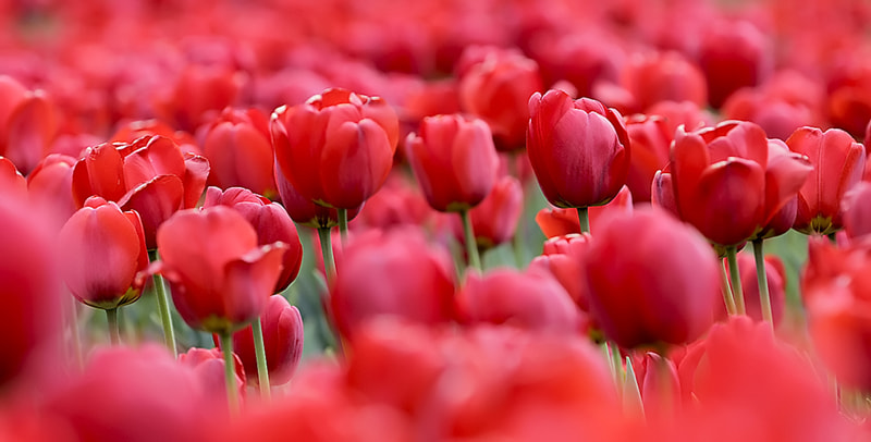 Photograph Tulips by Michele Smilovich on 500px