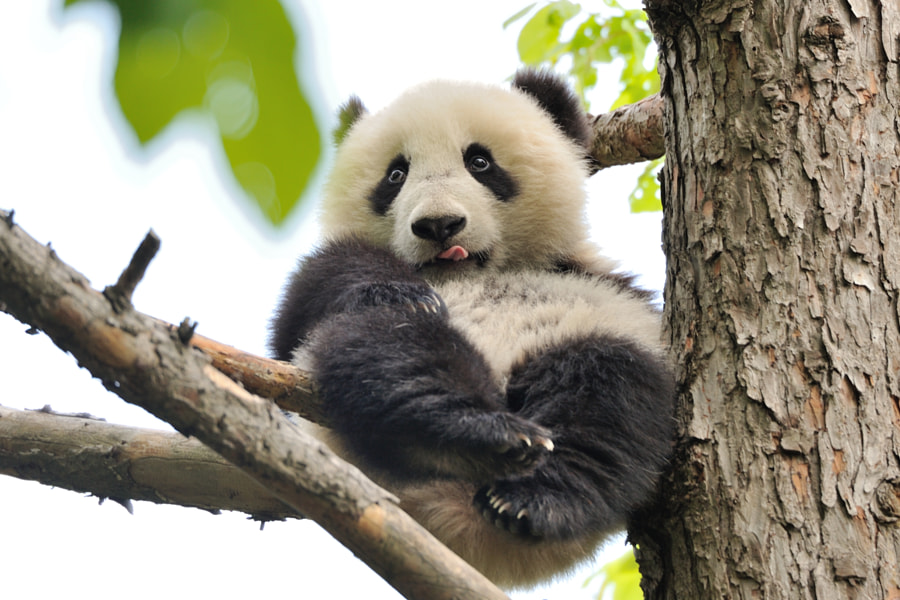 Photograph Fu Bao in the tree by Jutta Kirchner on 500px