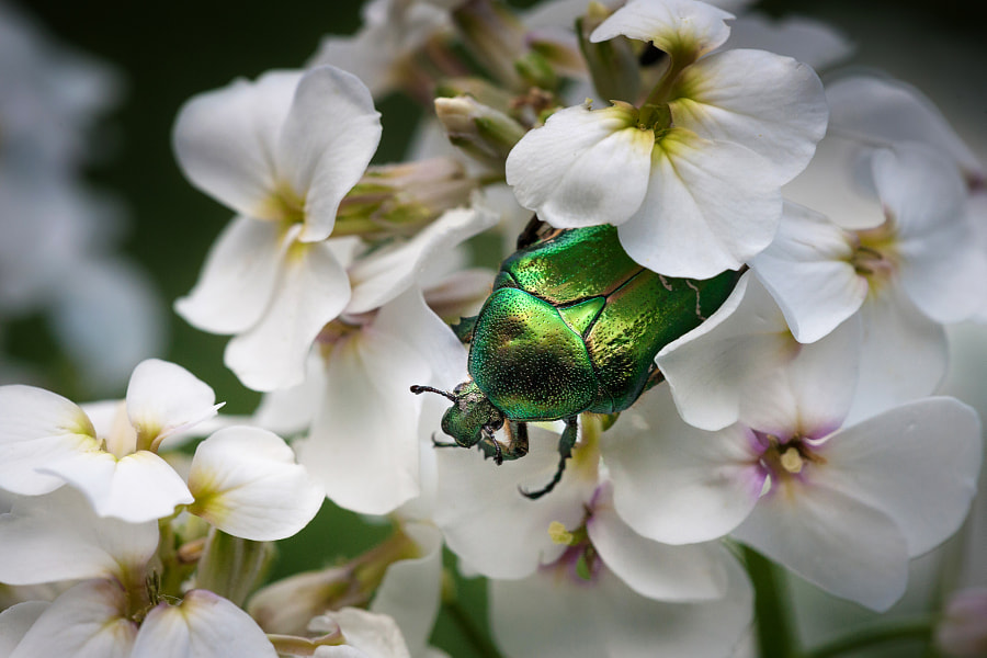 Photograph Green bug on white flower by Steen Rasmussen on 500px