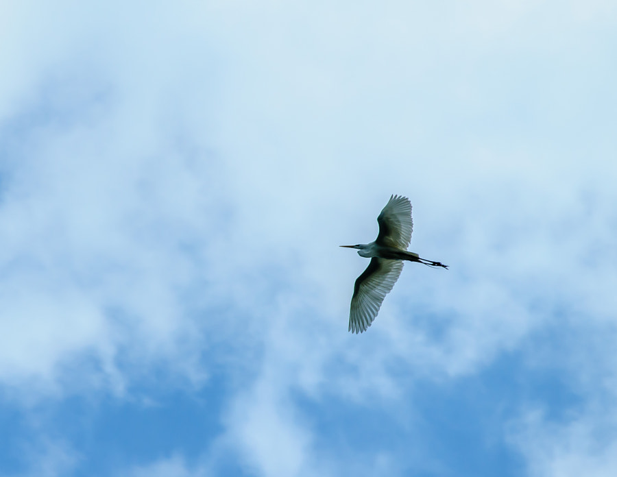 Walking the pond I heard a noise and looked up and realized it was the Egret passing over.