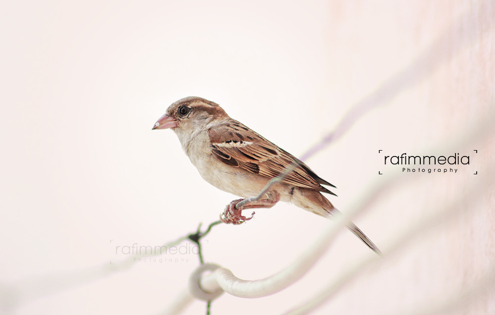 Photograph Sparrow by Mohamed  Rafi on 500px