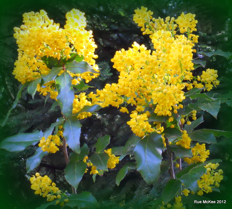 Photograph Oregon Grape in Bloom by Rue McKee on 500px