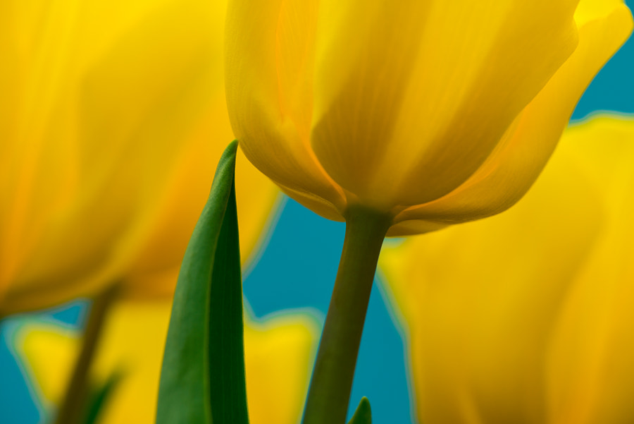 look-up Tulips by Zachary Voo on 500px.com