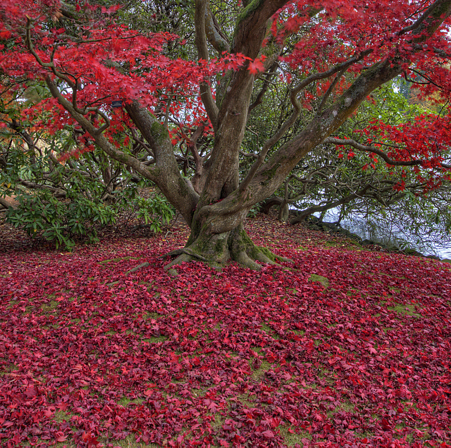 Red Acer - Autumn by Stephen Stringer CPAGB on 500px