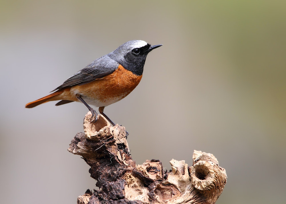 Photograph Male Redstart by Karen Summers on 500px