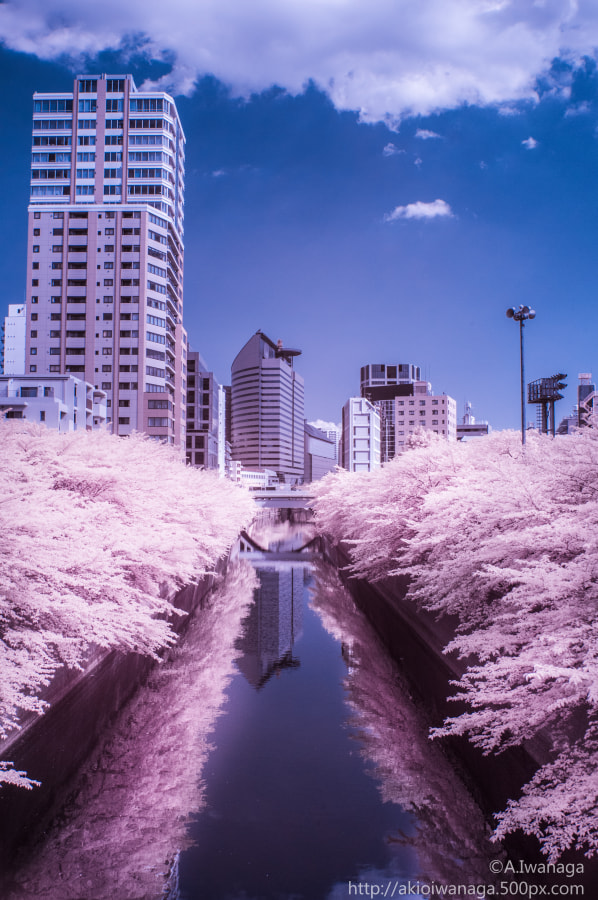 Leaf Sakura(IR)
