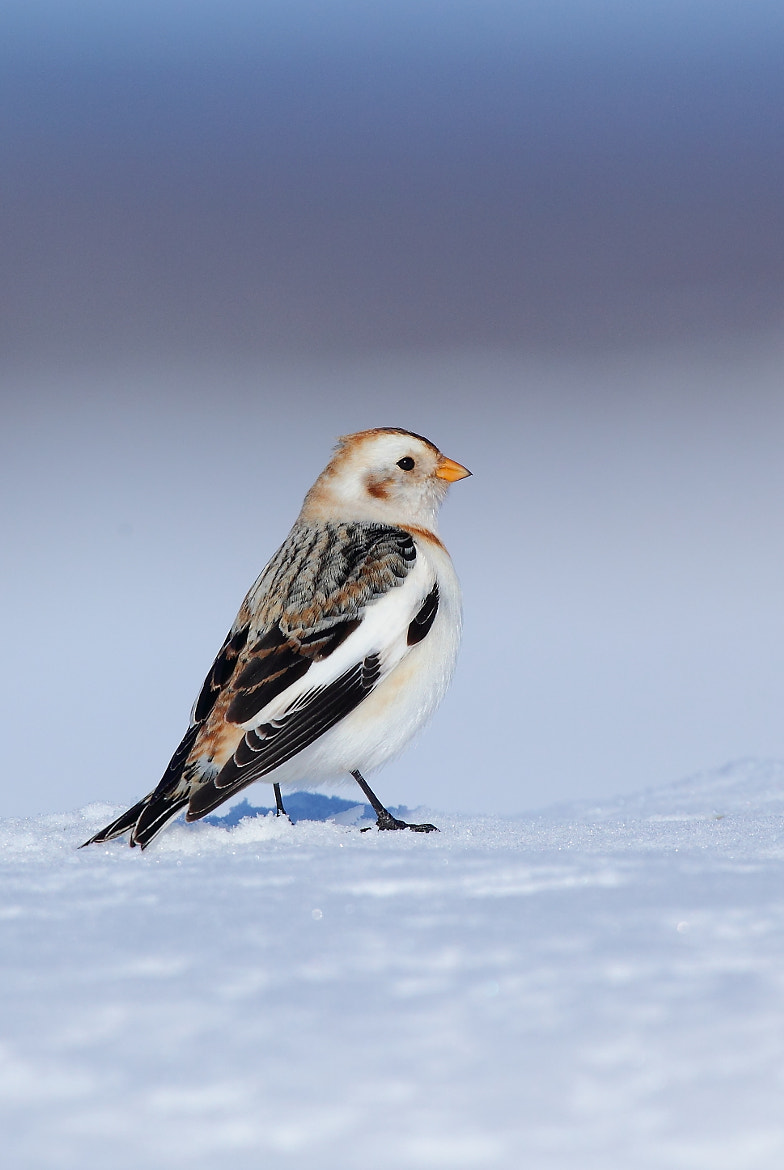 Photograph Snow Bunting (Bruant des neiges) by Jean-François Gaudreau on 500px