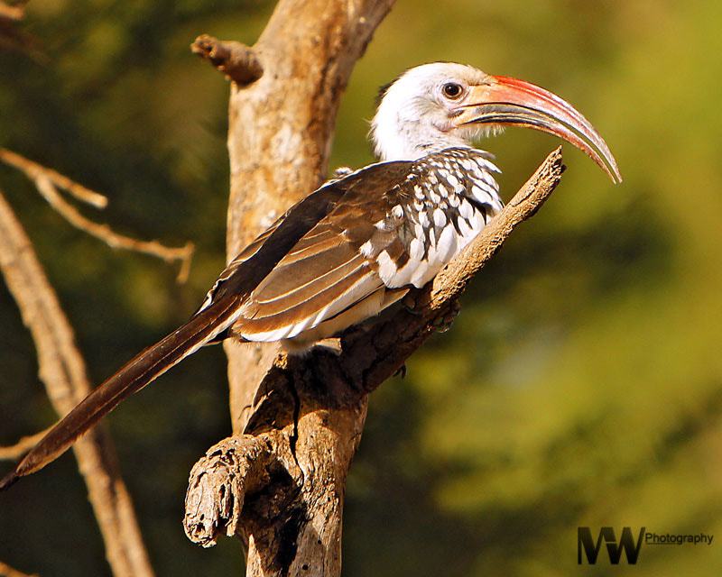 Photograph Red Billed Hornbill by Mike Wanini on 500px