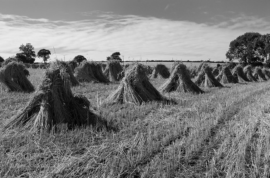 Photograph Wheat Sheaves by Andrew Barrett on 500px