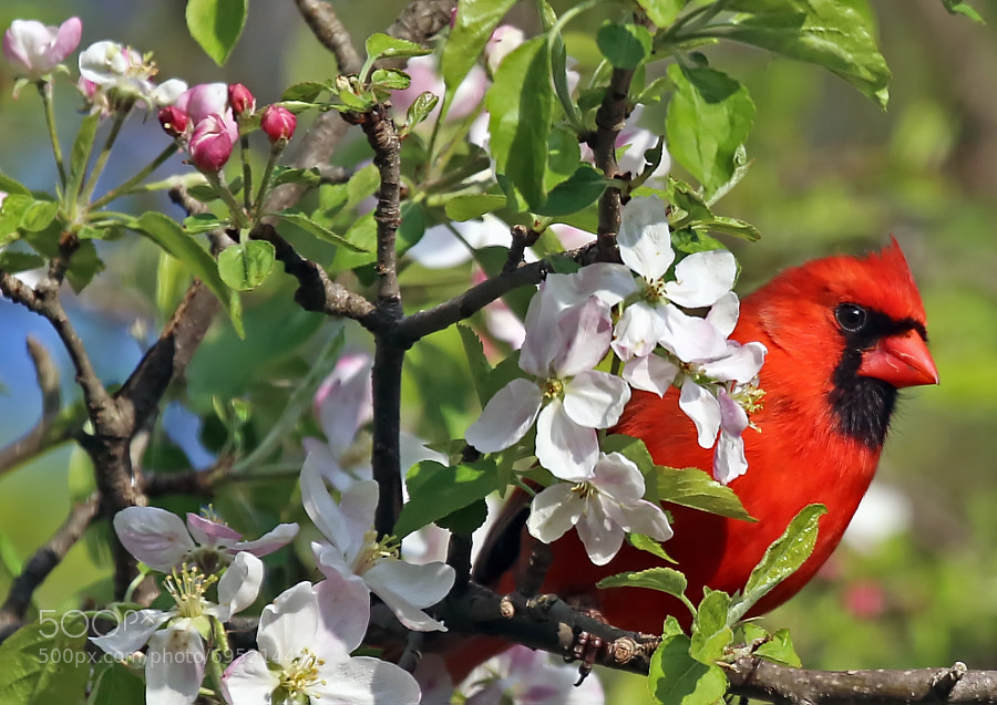 A male Cardinal peeks out from behind the Apple Blossoms as Spring finally arrives here in Pennsylvania.