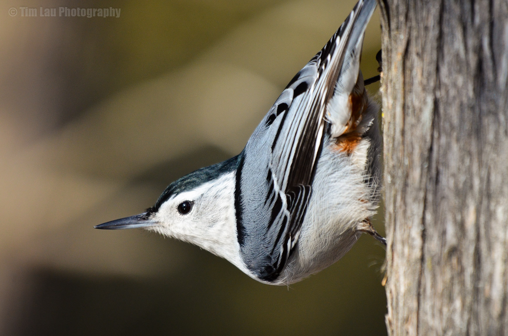 Photograph Nuthatch on alert by Tim Lau on 500px