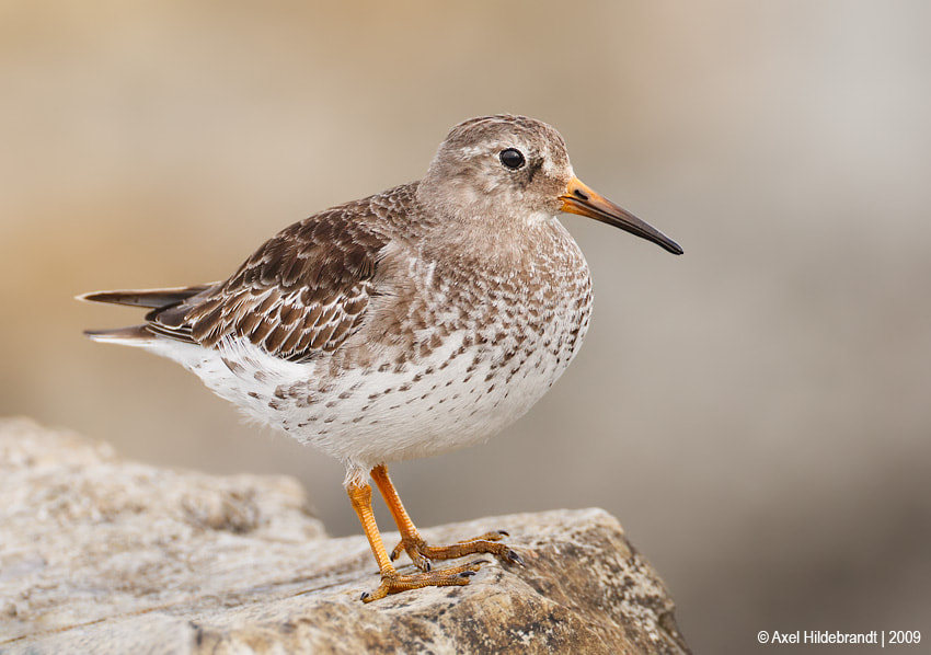 Photograph Purple Sandpiper by Axel Hildebrandt on 500px