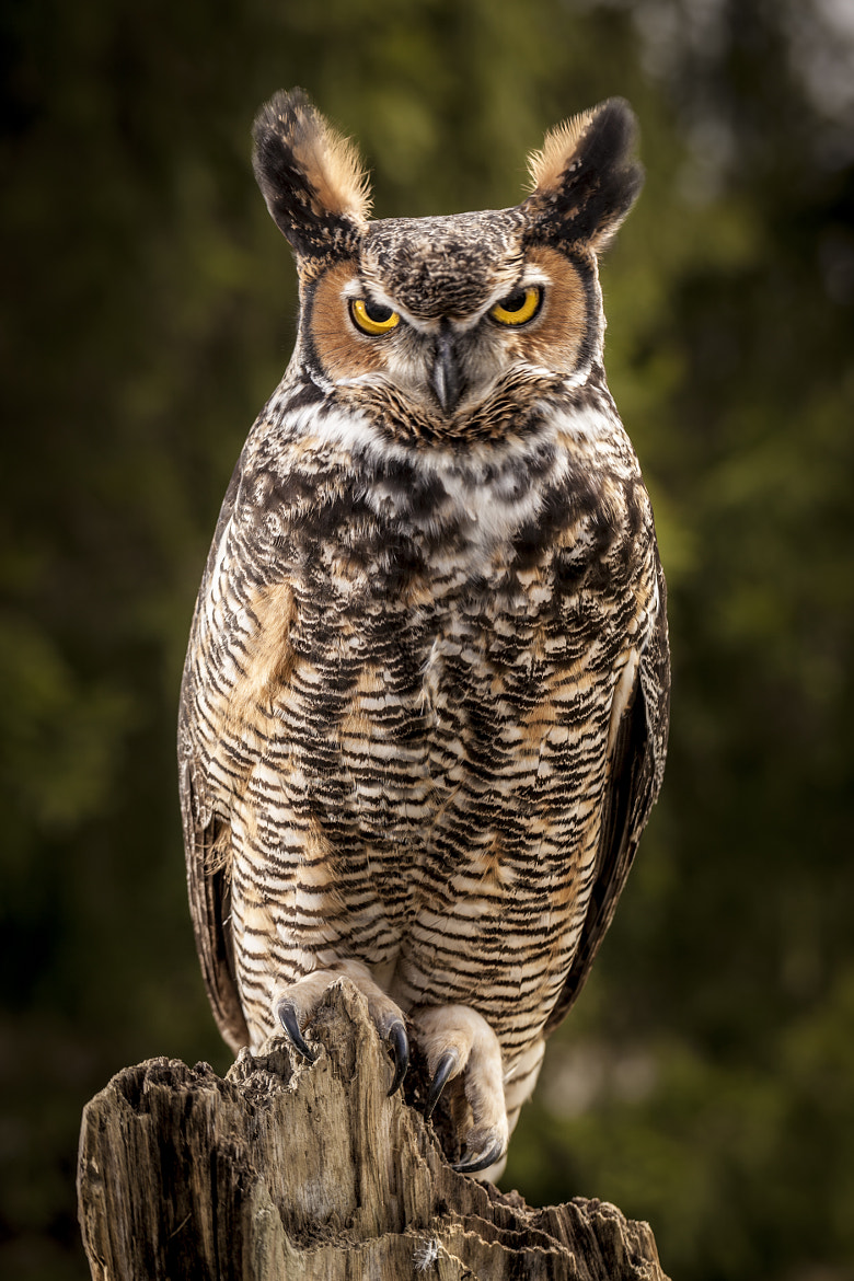 Photograph Great Horned Owl by Rafal Kiermacz on 500px
