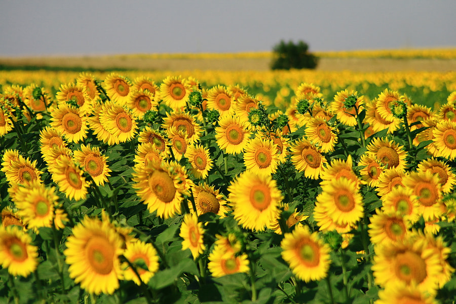 Sunflowers field by Marcel Comendant on 500px.com