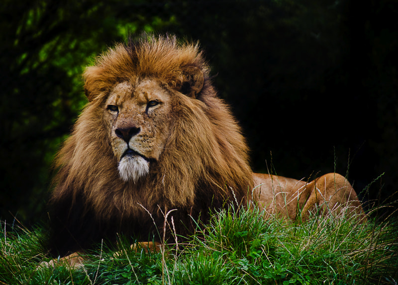 Photograph The Lion King by Andy Butler on 500px
