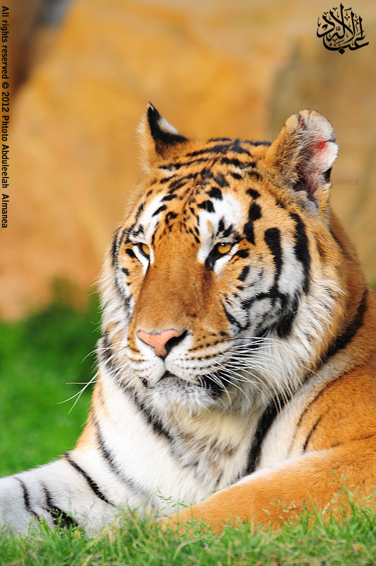 Photograph Tiger by Abduleelah Al-manea on 500px