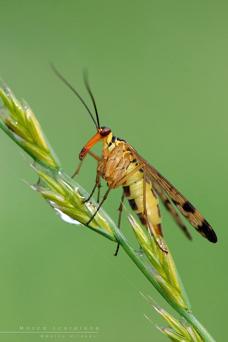 Photograph Mosca scorpione by Marco Milanesi on 500px