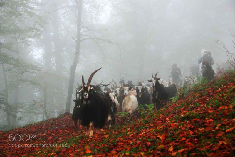 Photograph Sheep by Sohrab Niazi on 500px