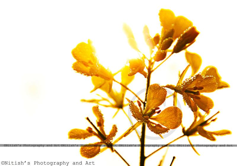 Photograph Golden Drops... by Nitish Bindal Agrawal on 500px