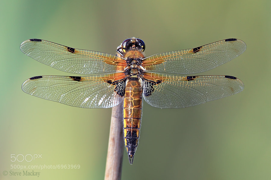Photograph Four-Spotted Chaser by Steve Mackay on 500px