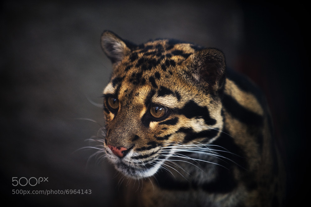 Photograph Shadow Leopard by Jason McDonald on 500px