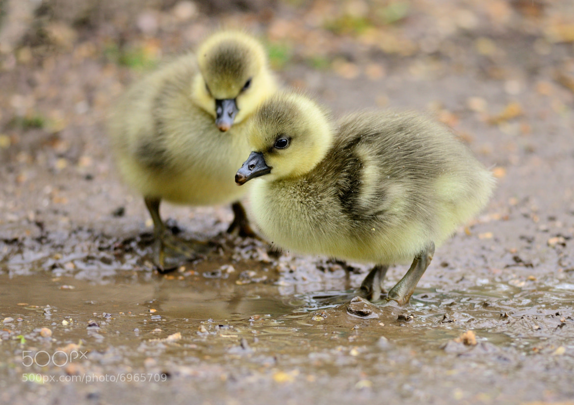 Photograph Goslings ! by Russ Ellis on 500px