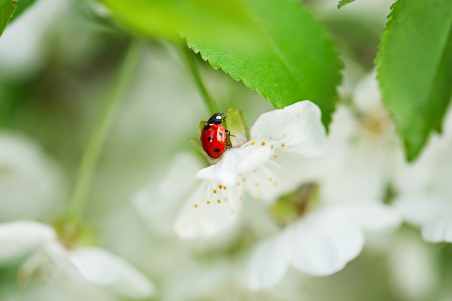 Ladybag on cherry flower by Roksana Bashyrova on 500px.com