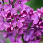 Постер, плакат: Lilac flowers background