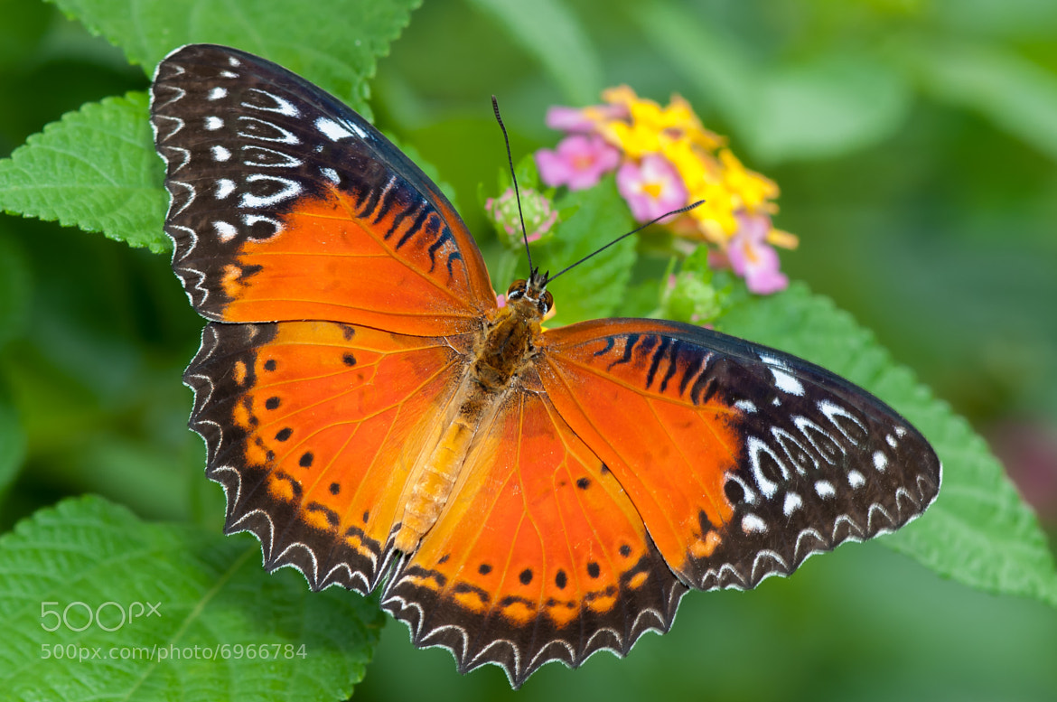 Photograph Red Lacewing by Ken Cheung on 500px