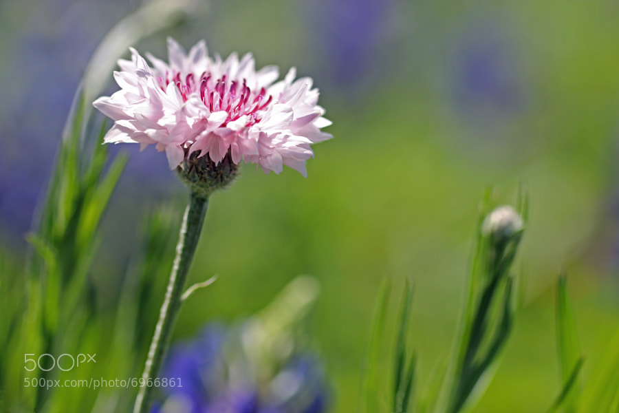 Photograph Wild Pink by Jane Sleeth on 500px