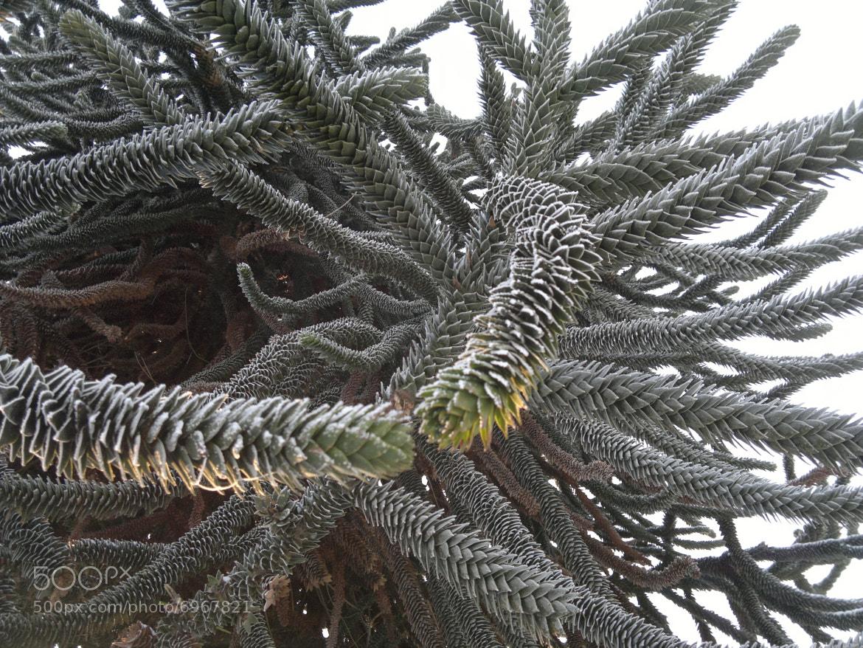 Photograph Monkey puzzle tree by Katja Sen on 500px